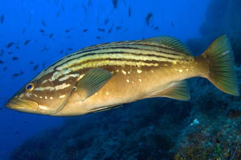 Epinephelus costae stira hellasfishing