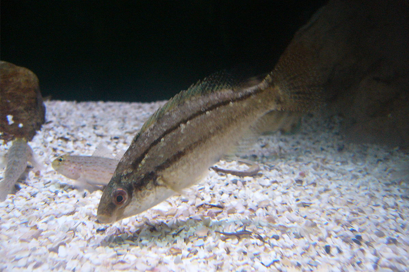 Symphodus tinca hellasfishing heilou