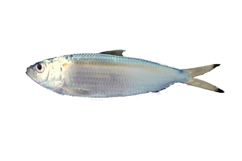 frissa psari hellasfishing