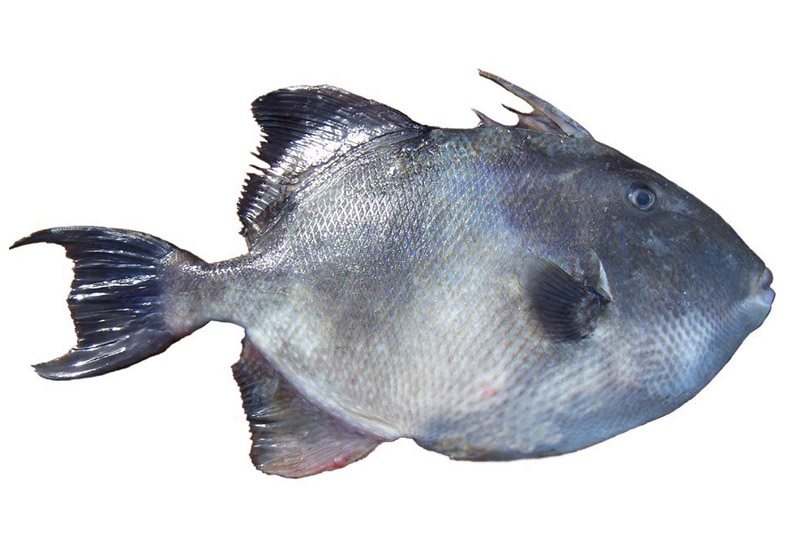 Γουρουνόψαρο