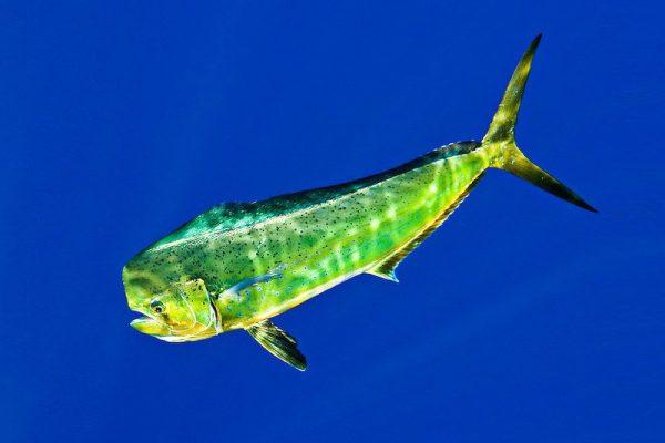 Mahi Mahi Dolphinfish Dorado 0027 V